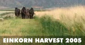 Einkorn Harvest 2005