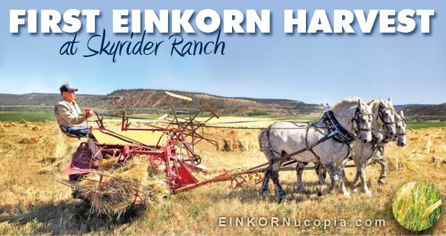 Einkorn Harvest 2016
