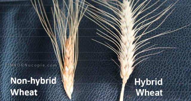 Hybrid vs Non-hybrid Wheat